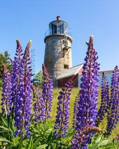 Lupines surround the Monhegan Island Lighthouse
